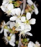 Белые цветки вишни на черной предпосылке Стоковые Фото