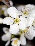 Белые цветки вишни на черной предпосылке Стоковые Изображения