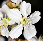 Белые цветки вишни на черной предпосылке Стоковое Фото