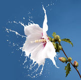 Белые цветки выплеска Стоковые Изображения