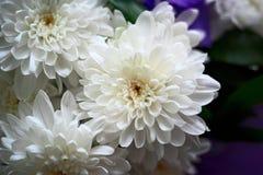 Белые цветки в букете хризантем стоковые изображения rf
