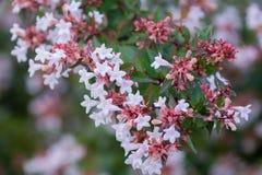 Белые цветки в крупном плане лета стоковые фотографии rf