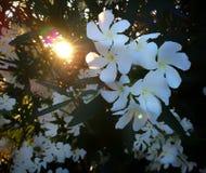 Белые цветки в Тоскане стоковая фотография rf