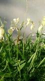 Белые цветки в цветени и пчеле на своем Стоковое фото RF