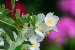 Белые цветки жасмина в саде стоковая фотография
