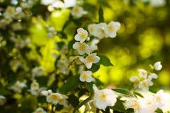 Белые цветки жасмина на цветении кустарника Стоковые Фотографии RF