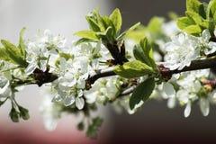 Белые цветки зацветая вишневого дерева Стоковое Изображение