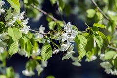 Белые цветки зацветая вишневого дерева Стоковая Фотография