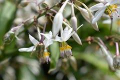 Белые цветки зацветая в природе стоковая фотография rf