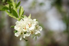 Белые цветки и листья зеленого цвета на дереве Стоковые Фотографии RF