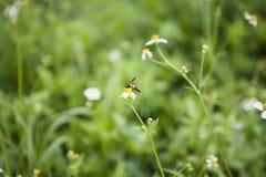 Белые цветки и пчела Стоковое Фото