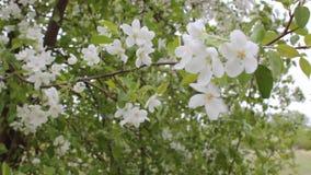 Белые цветки и сильный ветер в саде сток-видео