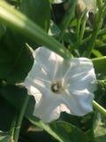 Белые цветки китайского шпината стоковые изображения rf