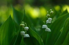 Белые цветки 5 ландыша Стоковое Фото