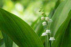 Белые цветки 4 ландыша Стоковое Изображение