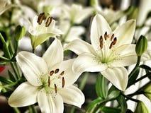 Белые цветки Лили стоковые изображения