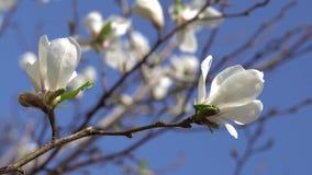 Белые цветки магнолии сток-видео