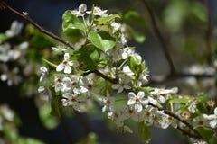 Белые цветки на дереве стоковое изображение