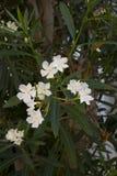 Белые цветки олеандра на всходе конца-вверх Стоковые Фотографии RF