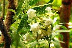 Белые цветки олеандра на дереве Стоковое Фото