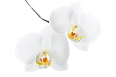 Белые цветки орхидеи изолированные на белизне Стоковые Изображения