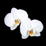 Белые цветки орхидеи изолированные на черноте Стоковое Изображение RF
