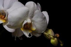 Белые цветки орхидей на черной предпосылке Стоковая Фотография