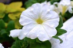 Белые цветки петуньи в цветени Стоковые Фото