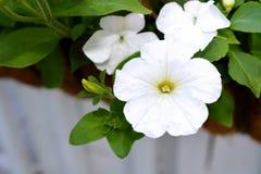 Белые цветки петуньи в цветени Стоковое Изображение RF