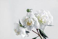 Белые цветки пиона с белой предпосылкой Стоковые Изображения