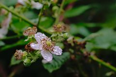 Белые цветки поленики с потеками росы Стоковая Фотография RF