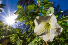 Белые цветки против освещают контржурным светом с стоковое фото rf