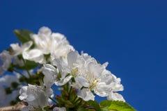 Белые цветки сладкой вишни против голубого неба текст места предпосылки флористический Чувствительные белые цветки с сочным зелен стоковое изображение