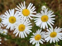 Белые цветки стоцвета в луге, Литве Стоковая Фотография RF