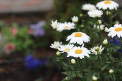 Белые цветки стоцвета с желтым центром стоковые изображения rf