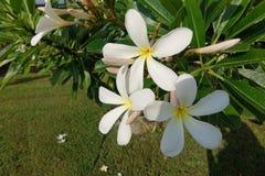 Белые цветки, султанат Омана Стоковая Фотография RF