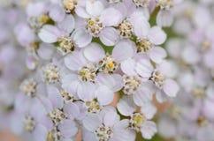 Белые цветки с желтыми тонами Стоковые Изображения