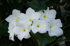 Белые цветки с желт-зеленым центром Стоковые Фото