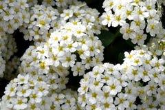 Белые цветки с зеленым цветом стоковая фотография rf