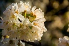 Белые цветки фруктового дерева стоковое изображение