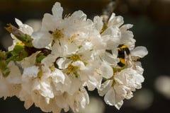 Белые цветки фруктового дерева и шмеля стоковое фото