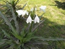Белые цветки Стоковое Изображение RF