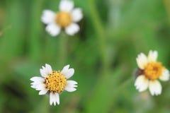 Белые цветки Стоковые Фотографии RF