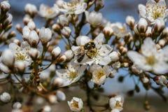Белые цветки cerasifera сливы стоковые фото