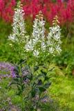 Белые цветки dittany (albus) Dictamnus, горящего куста стоковая фотография