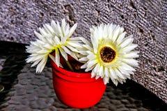 Белые цветки Gerber в красном баке Стоковое фото RF
