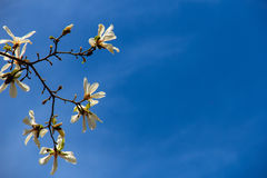 Белые цветки magnolia Стоковое фото RF