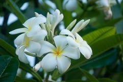 Белые цветки Plumeria в Кауаи, Гаваи Стоковые Изображения RF