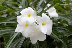 Белые цветки plumeria Стоковая Фотография