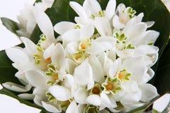 Белые цветки snowdrops Стоковые Фото